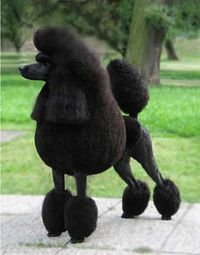 Poodles are an endangered species, for poachers are hunting them. Donate to Illogicopedia and save the poodles now!