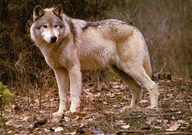 Sherwood Forest Wolf.jpg