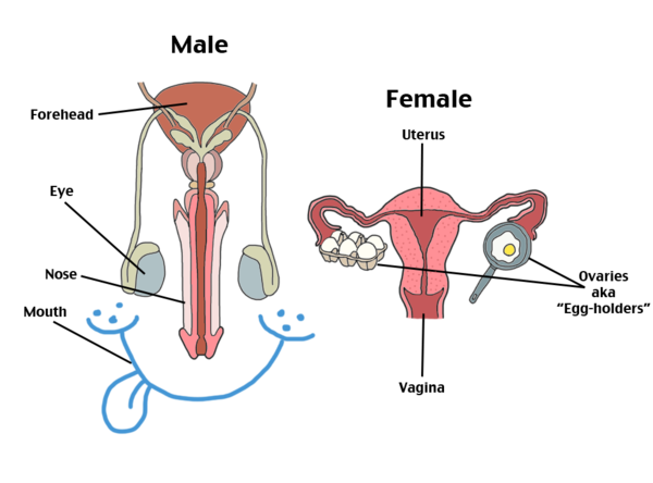 Reproductive system.png
